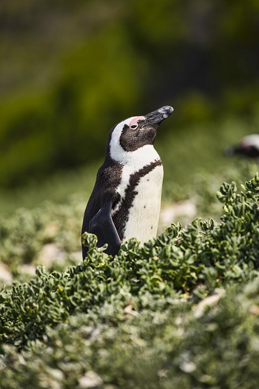 South African Penguin, Bolder's Bay