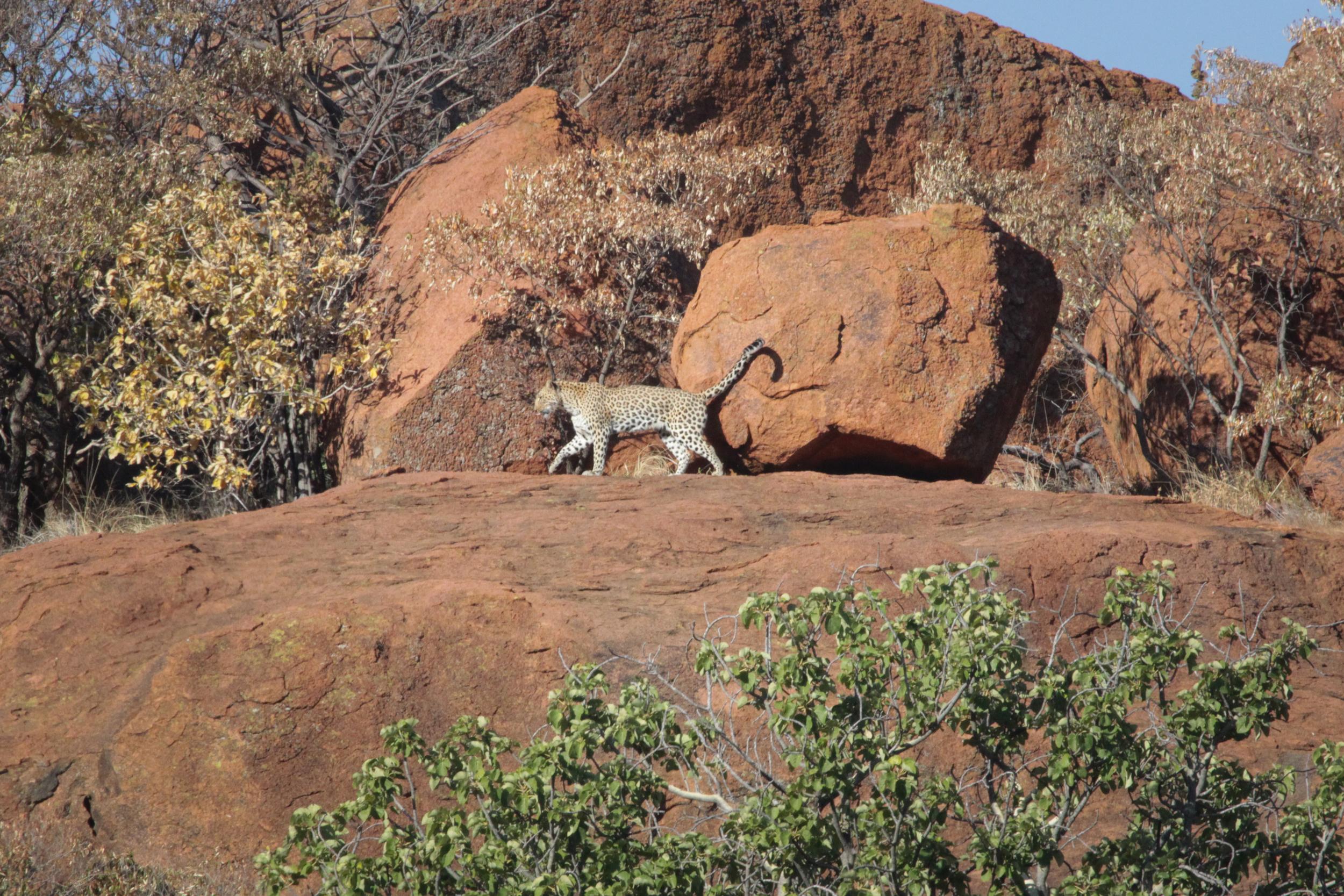 Momentary leopard sighting