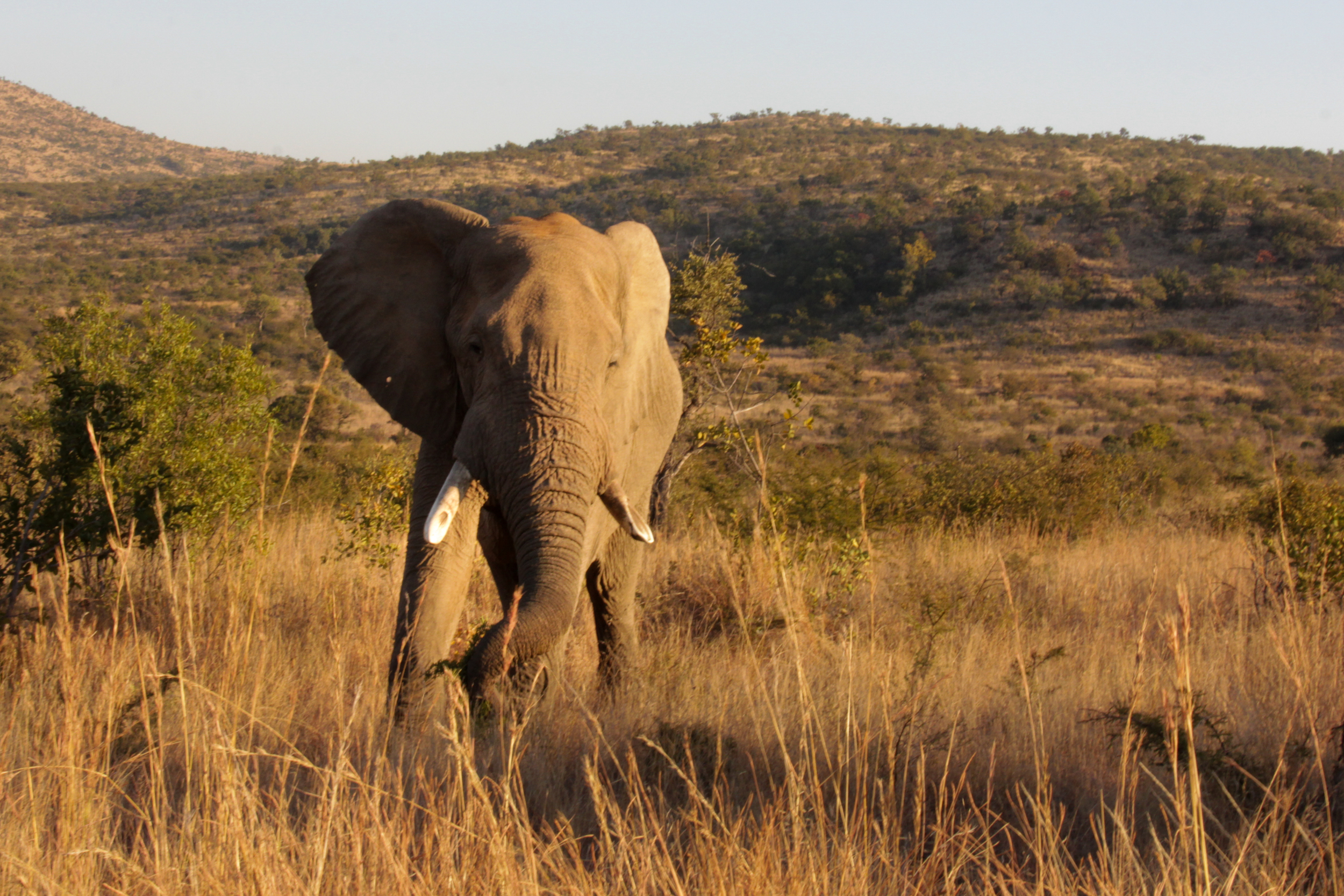 Large bull elephant, I was told he lost his tusks in a fight