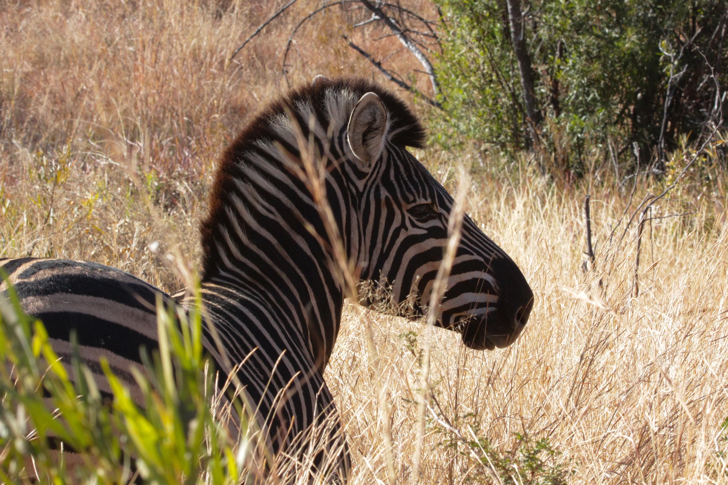 The zebras were everywhere!