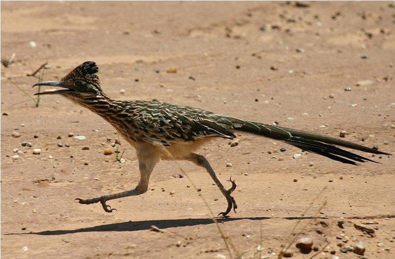 American Roadruner (The bird, no the cartoon)