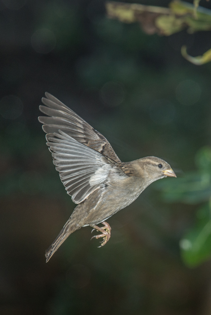 Female House Sparrow                                           photo credit