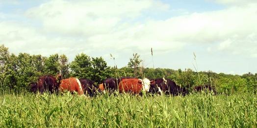 Cows at Gordon Farms