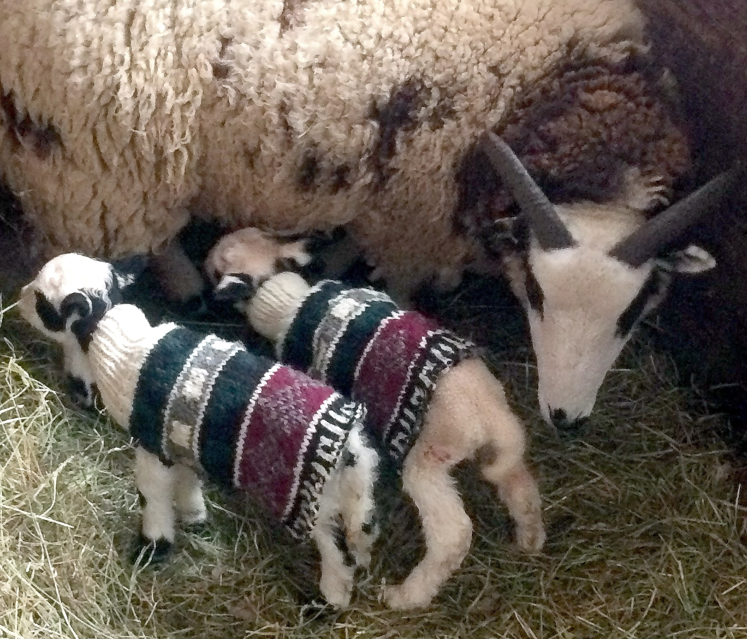 Lambs born during an extended cold spell needed a bit of extra help so CeCe cut down an old sweater to keep them warm.