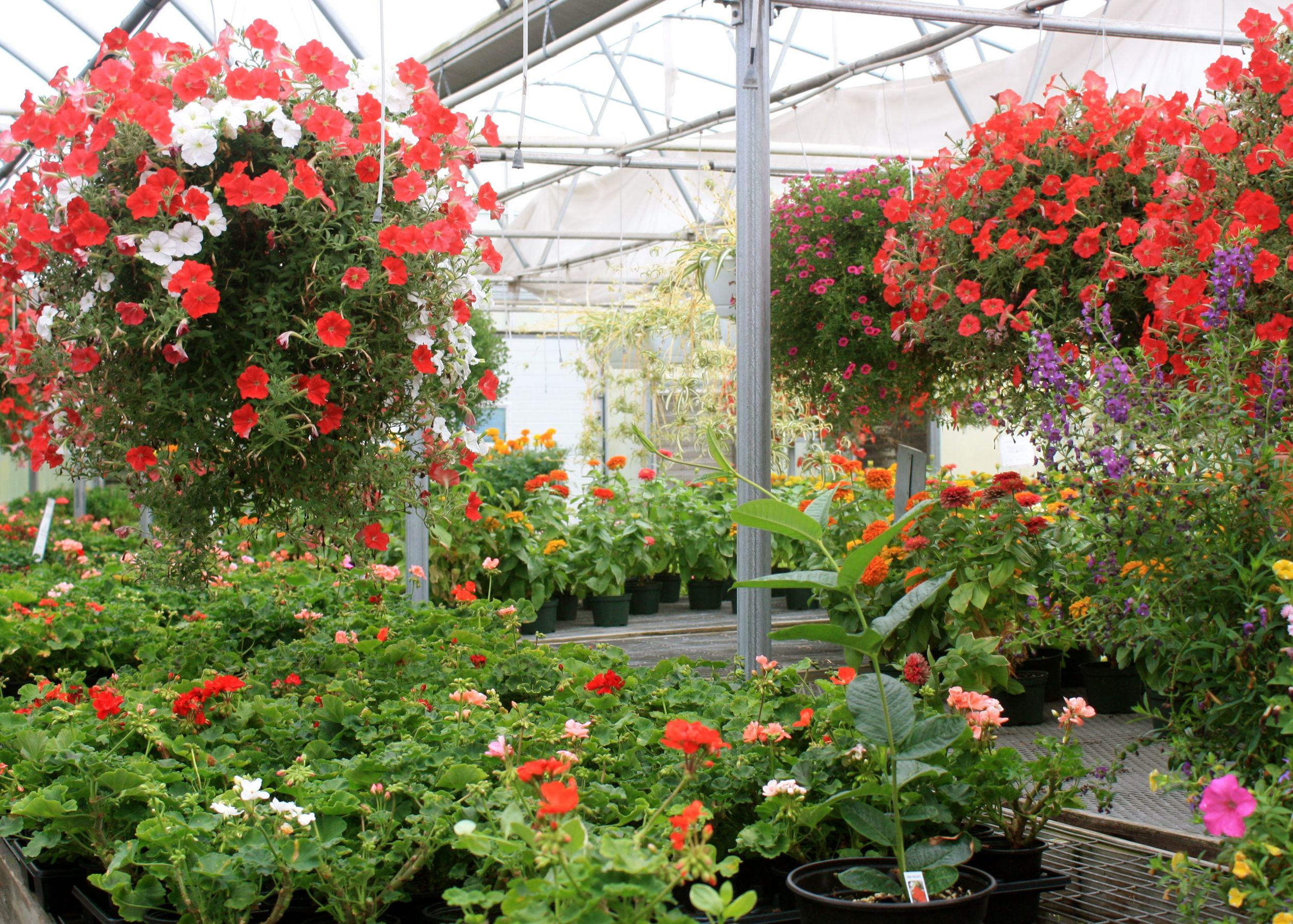 These are the greenhouses in mid summer, full of bedding plants and hanging baskets grown on the farm.