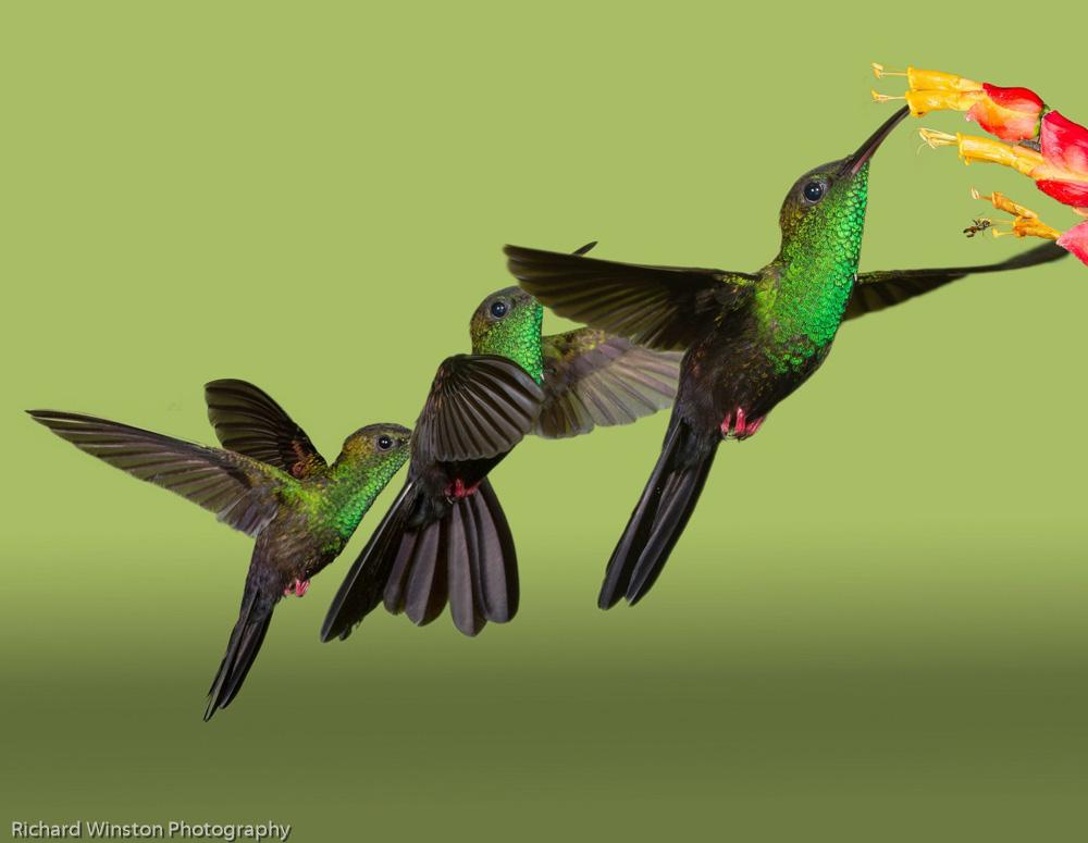 Bronze-tailed Plumeleteer Hummingbird Flight Pattern