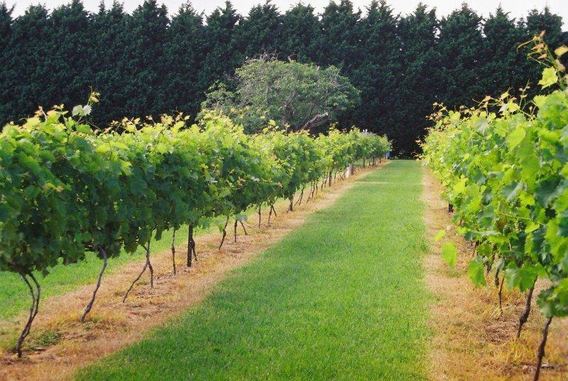 vineyard-800x600.jpg