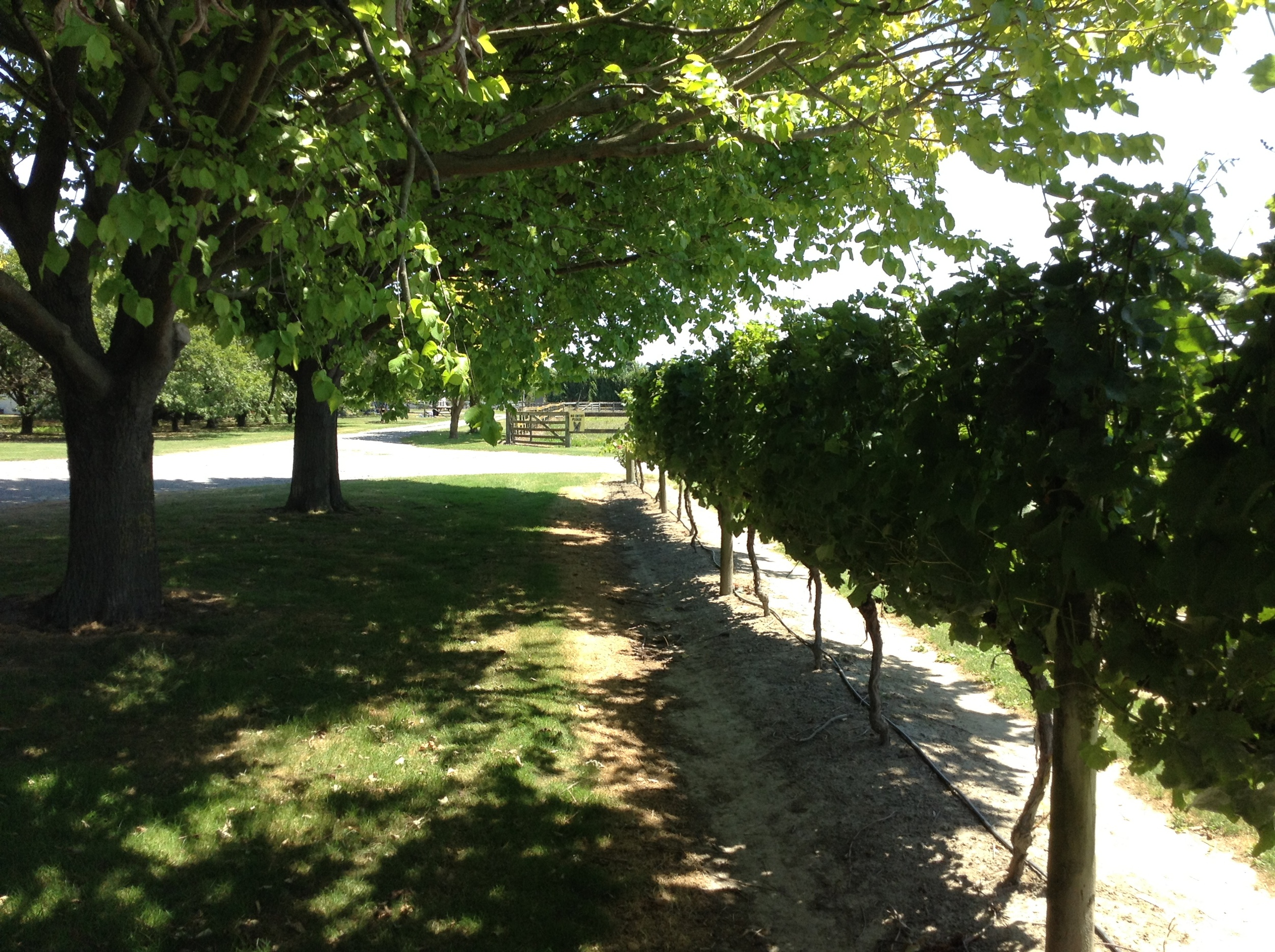 The leafy Chardonnay vines at the home vineyard.