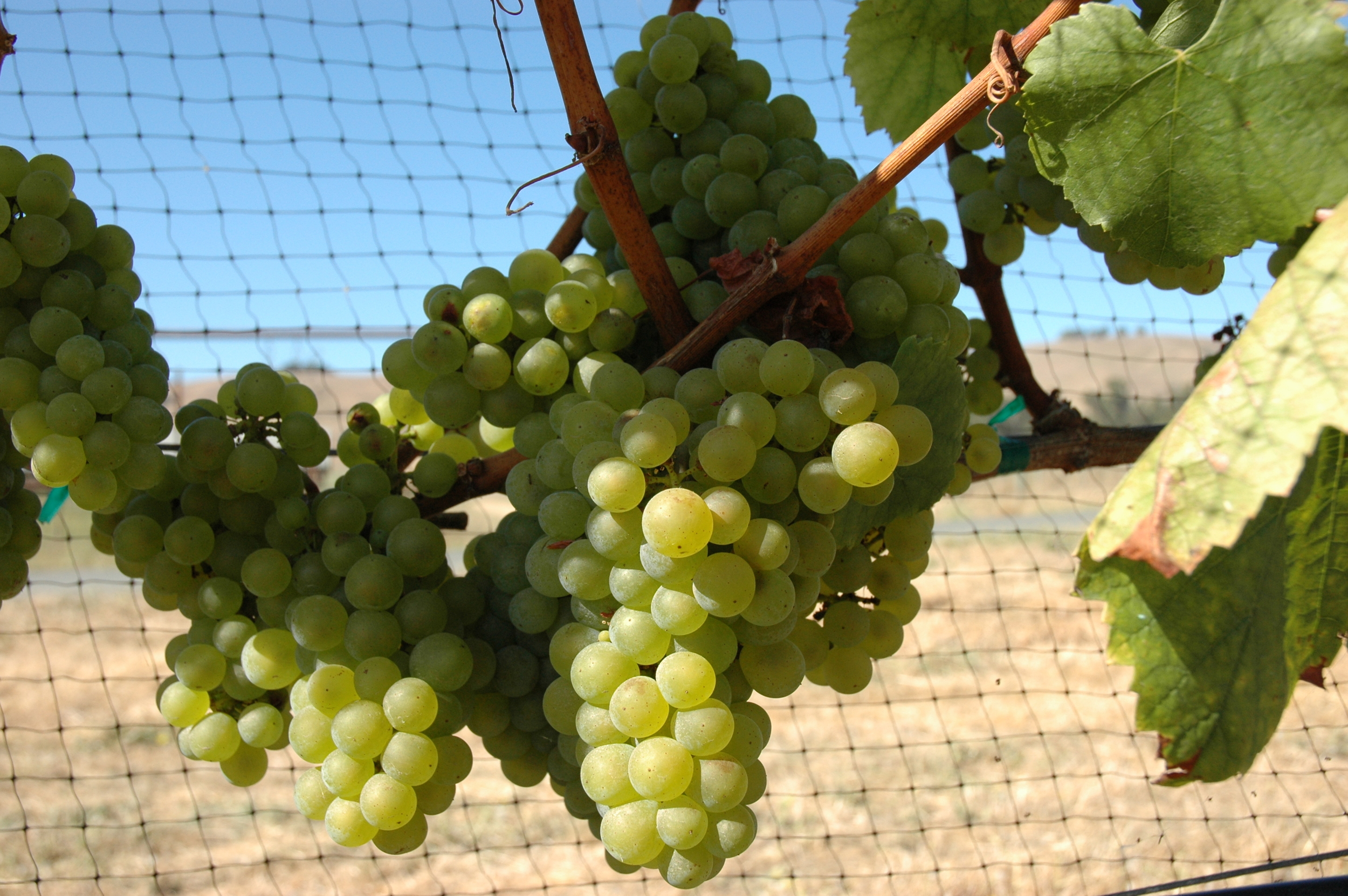 Chardonnay - one of the most widely recognised varieties of grapes and grown all over the world.