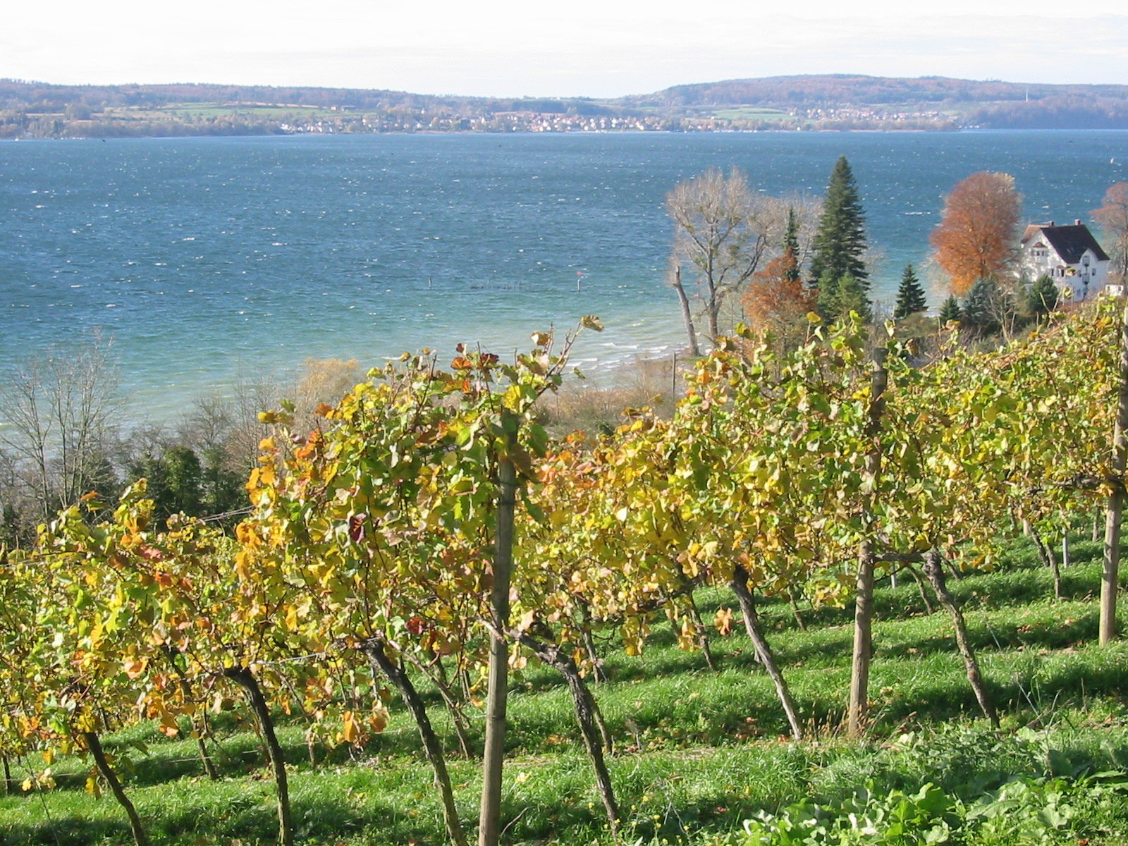 Baden Vineyards looking over Lake Constance (Bodensee)