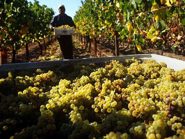 chardonnay-grapes-chile_8863_600x450.jpg
