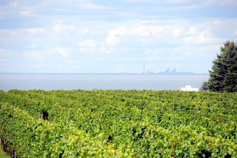 Konzelmann Estate Winery vineyard with a view of Lake Ontario and Toronto in the background.