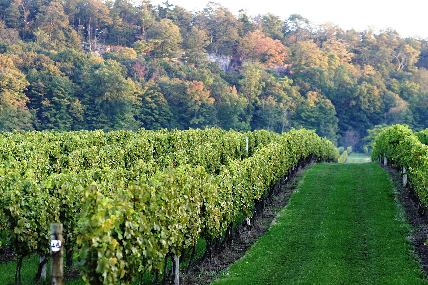 Vineyard with the Niagara Escarpment in the background.