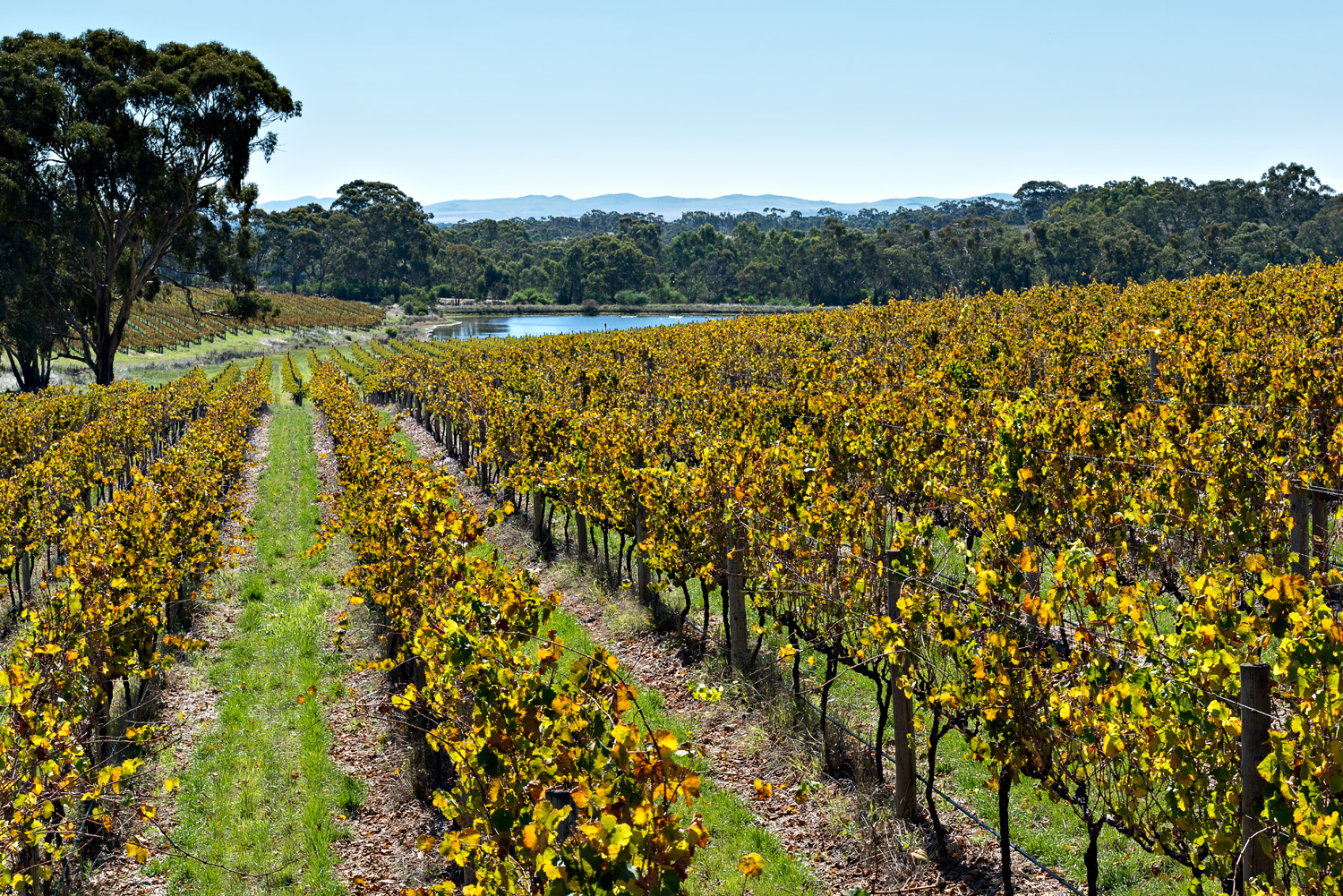 Grosset Wines  Polish Hill Riesling Vineyard, Clare Valley