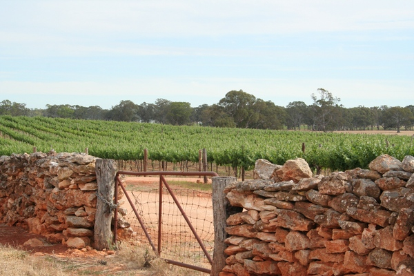 Vineyard scene in Wrattonbully