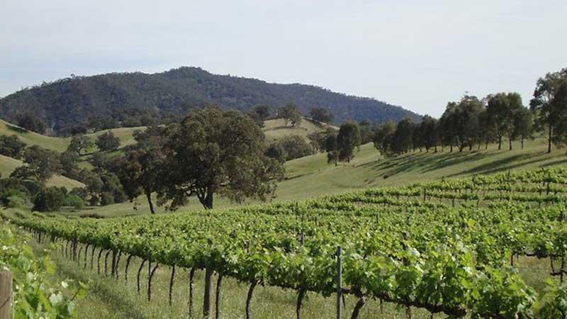 Vineyard scene in the Southern Flinders Ranges
