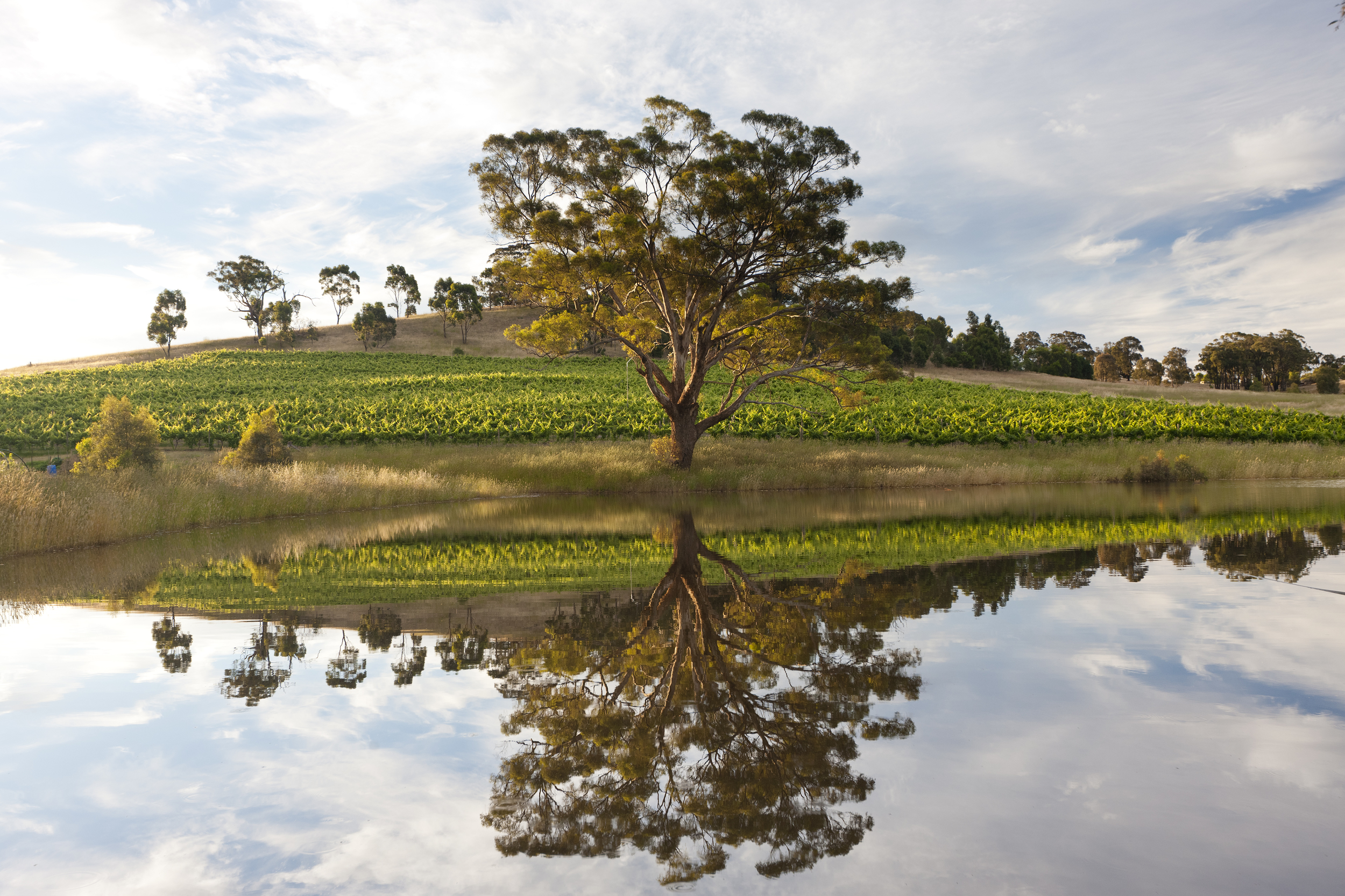 Vineyards at  Downing Estate , Heathcote