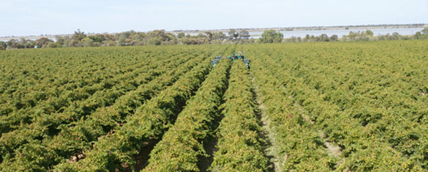 Brown Brothers  Mystic Park Vineyards, Swan Hill region