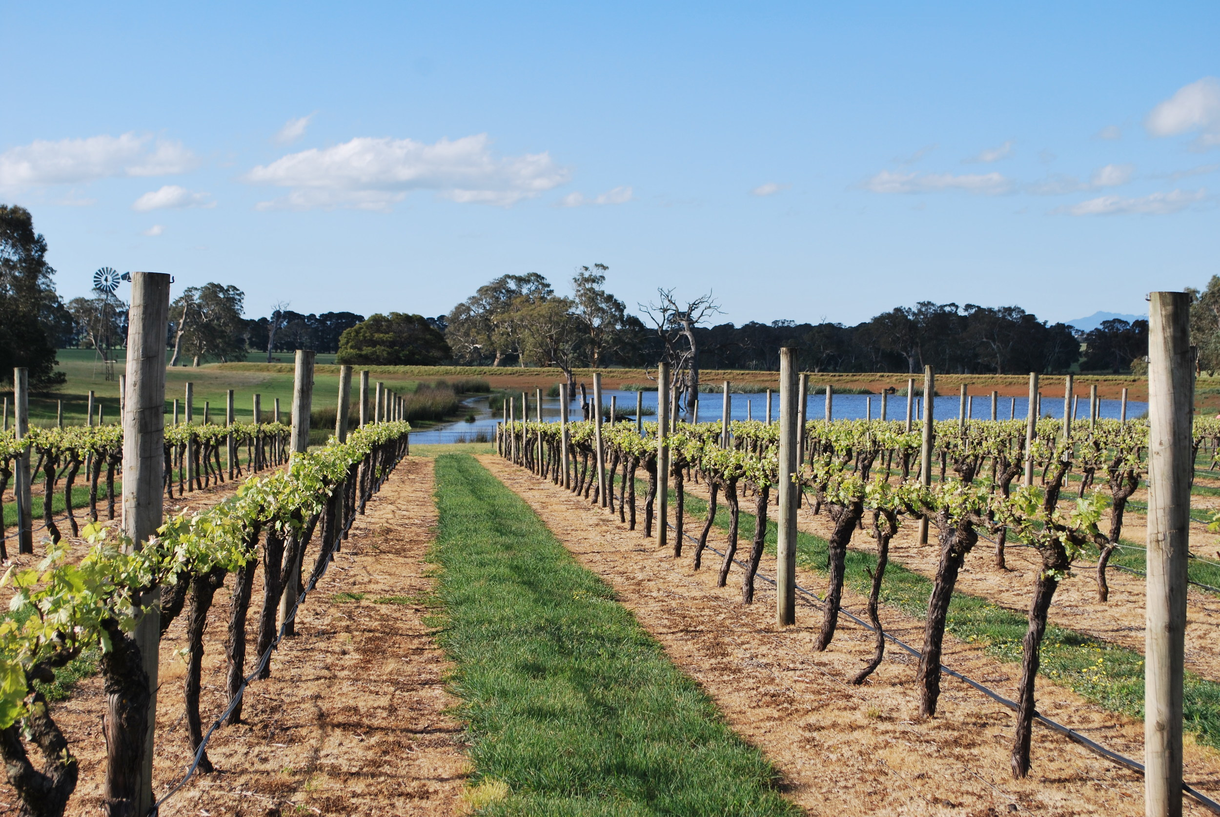 Vineyards planted at  Henty Estate , North of Hamilton