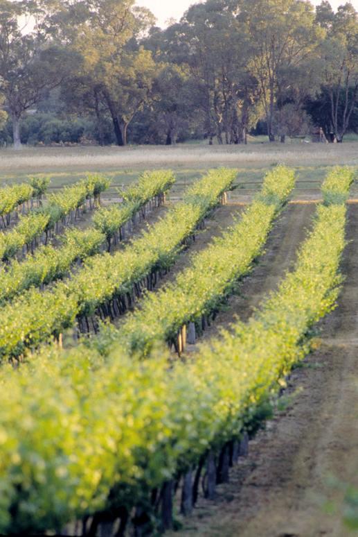 Peel Estate Vineyard  -Peel Region