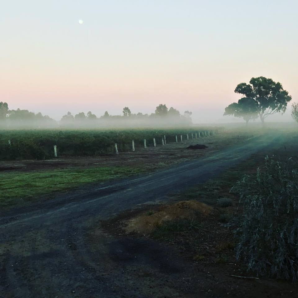 Misty vineyard -  St Anne's Vineyards  - Perricoota