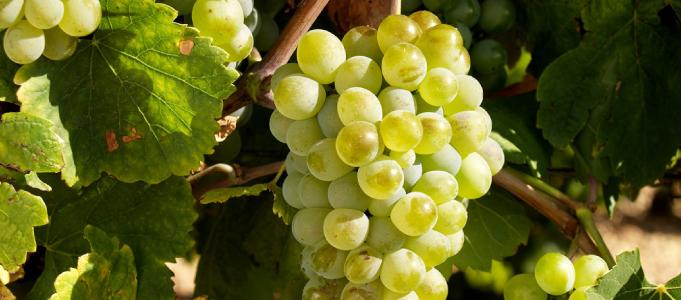 Albariño grapes
