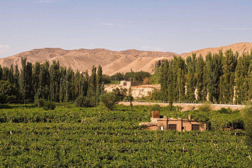 Vineyards in Xinjiang Province