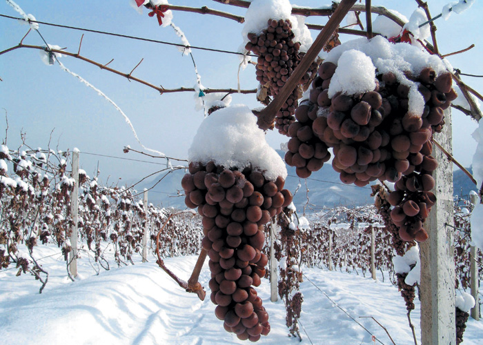 Frozen grapes in Changyu's Golden Icewine Valley - Huanlong Lake, Liaoning