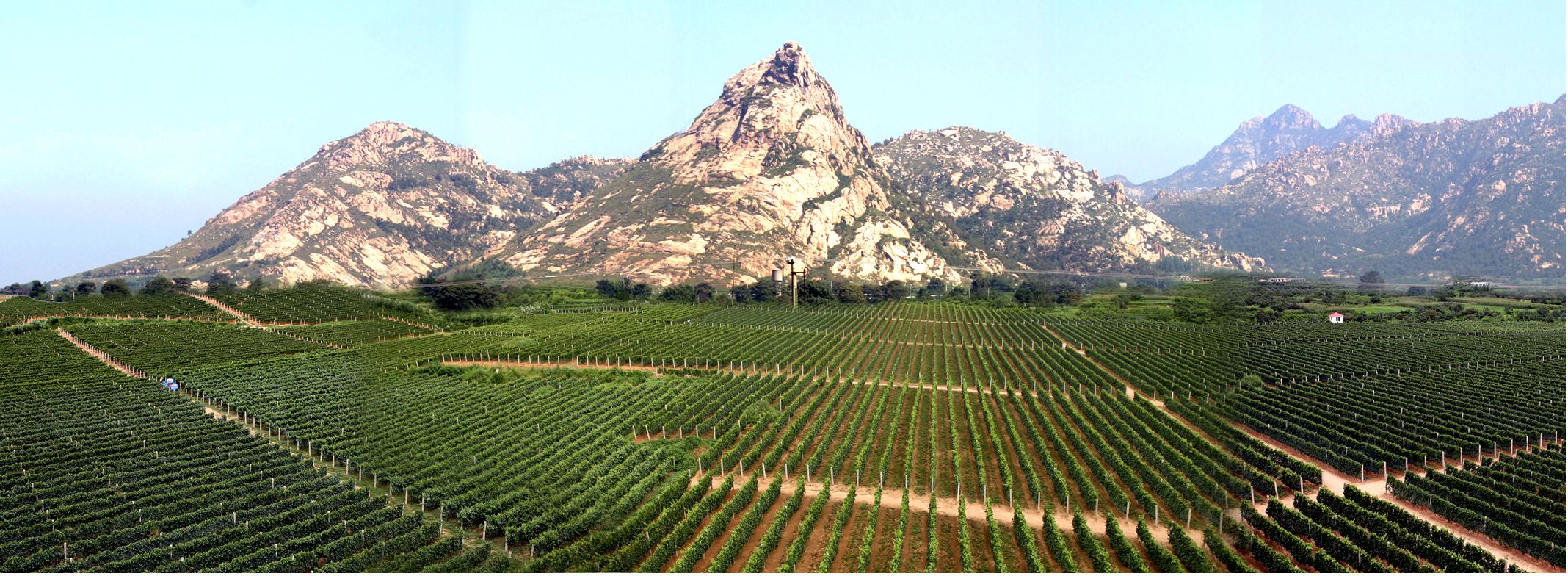Pheonix Hill Vineyard - Changli County, Hebei