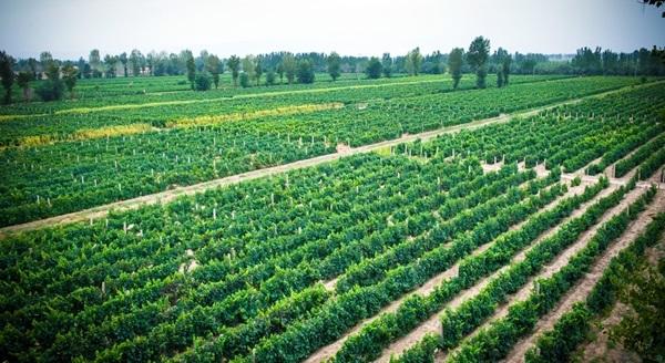 Irrigated vines in Gansu Province