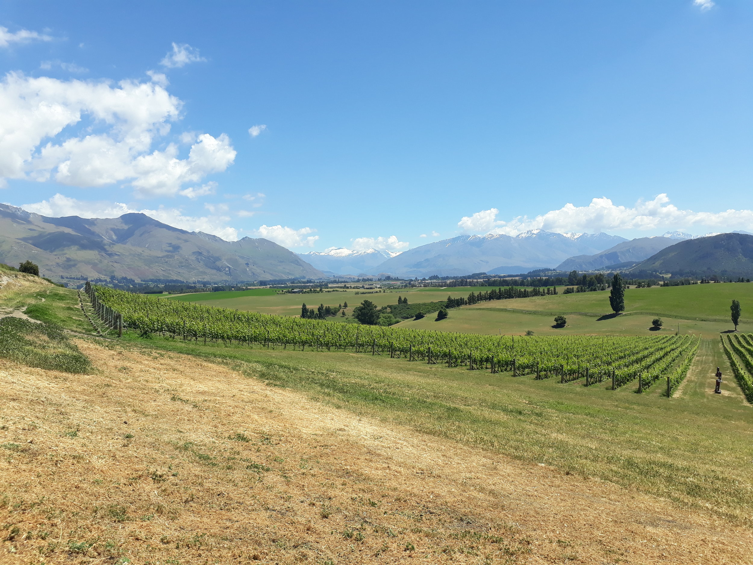 Akitu's spectacular vineyard in Wanaka.