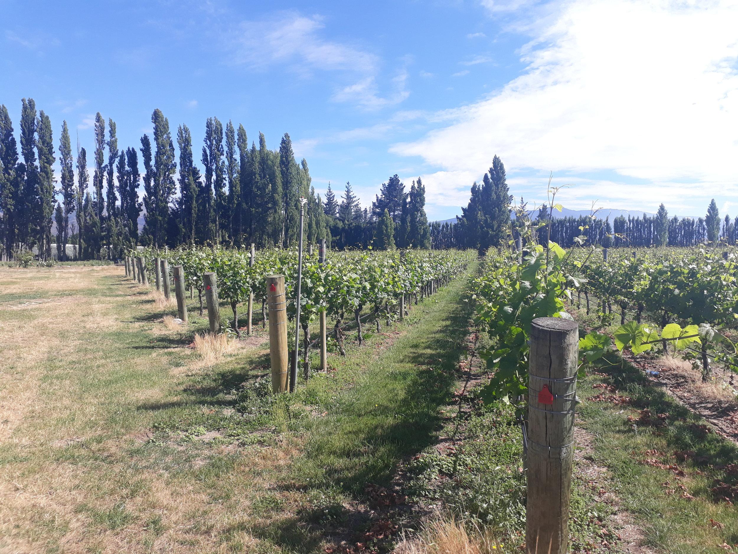 Estate vineyard of Three Miners, Earnscleugh, Alexandra Basin