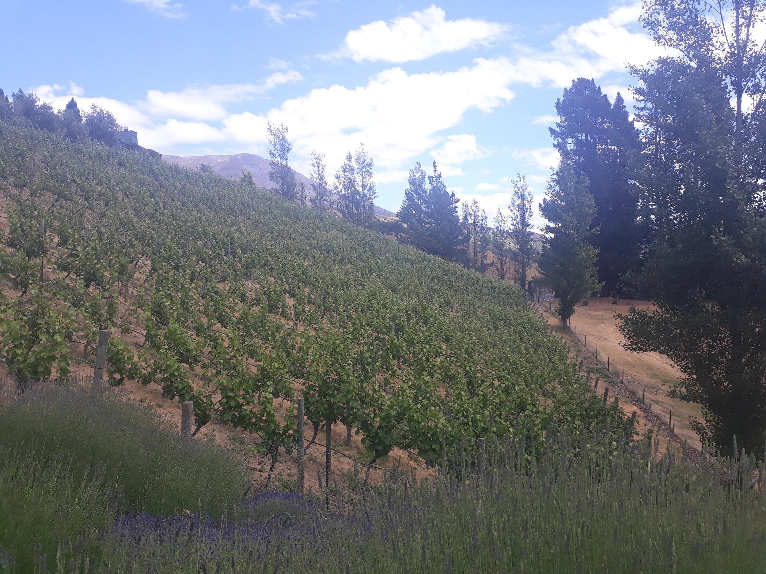 Mount Edward's sloping Drumlin vineyard.
