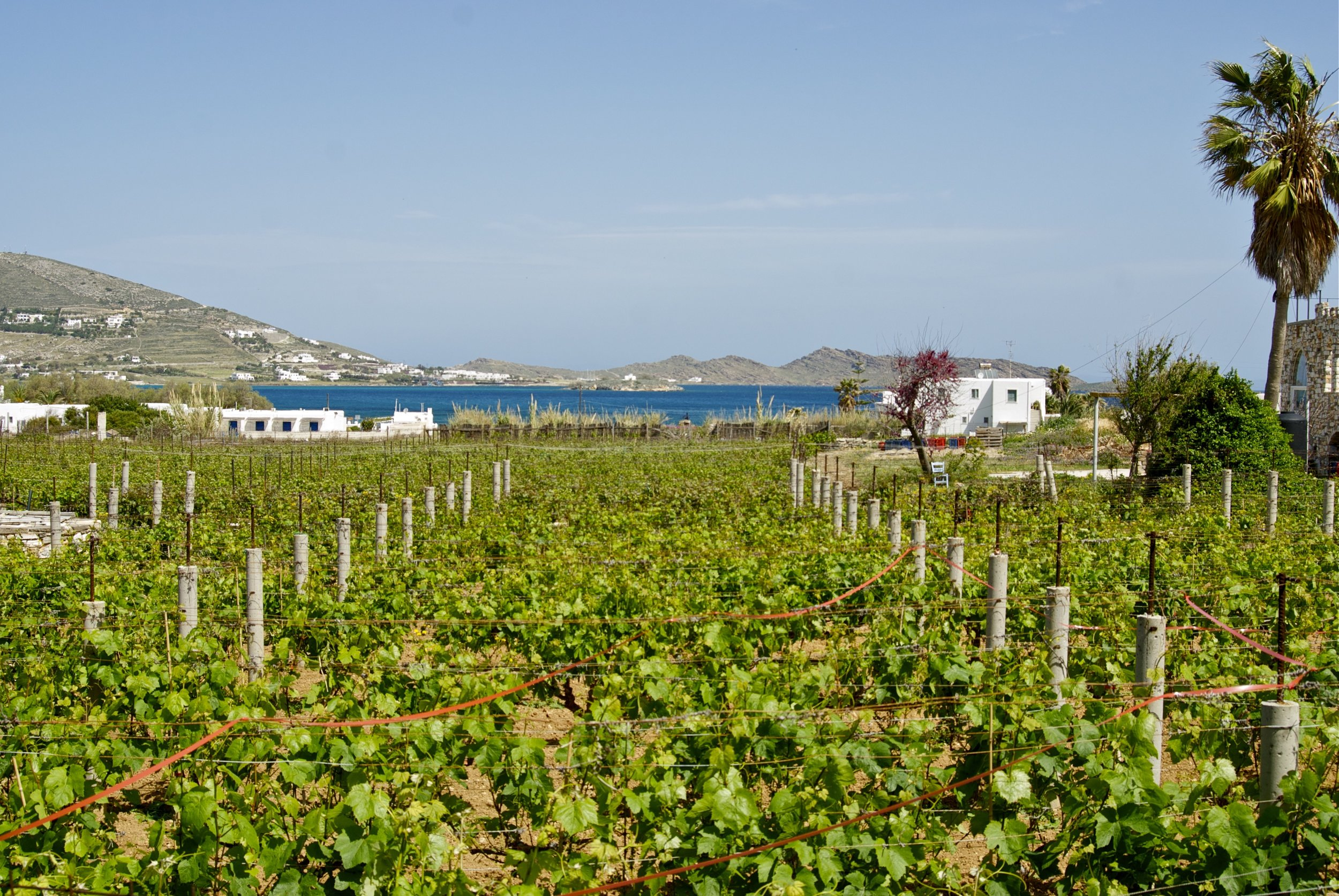 The vineyards of  Moraitis Winery  at Fykia, Paros