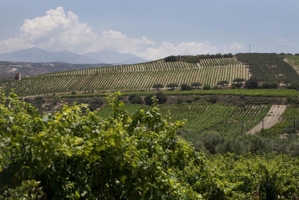 The vineyards of the wider Candia-Handakas /Heraklion region. Image:  Wines of Greece
