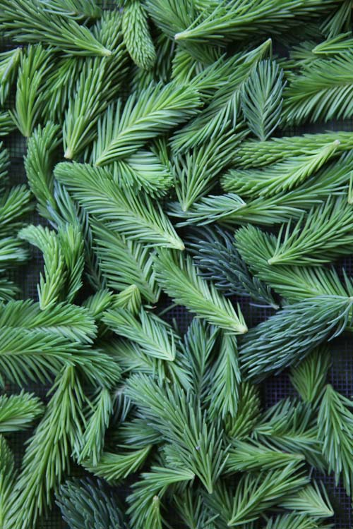 Fresh picked spruce tips