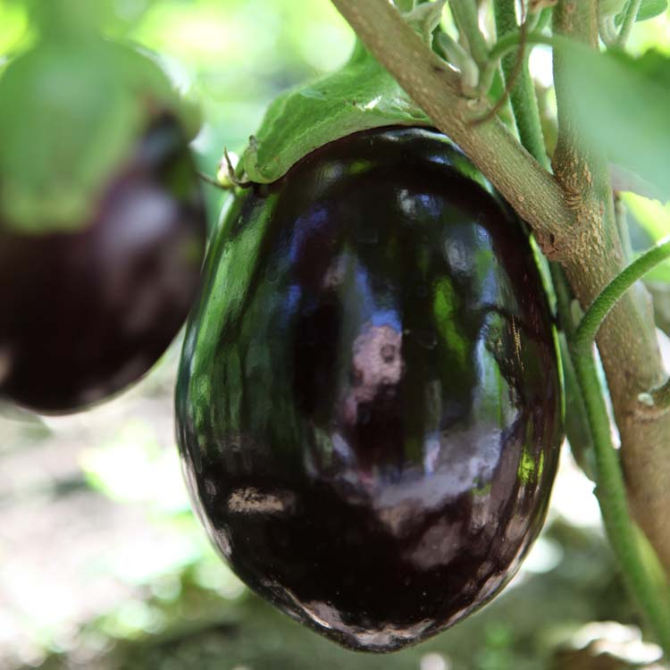 a-new-pastoral-grilled-eggplant