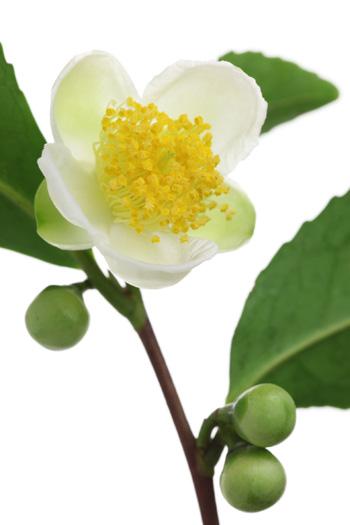 camellia sinsensis
