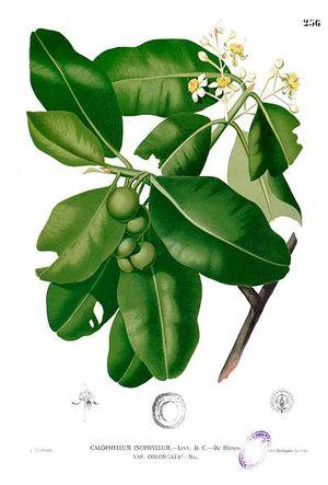 Tamanu+Calophyllum_inophyllum_Blanco2.256.jpg