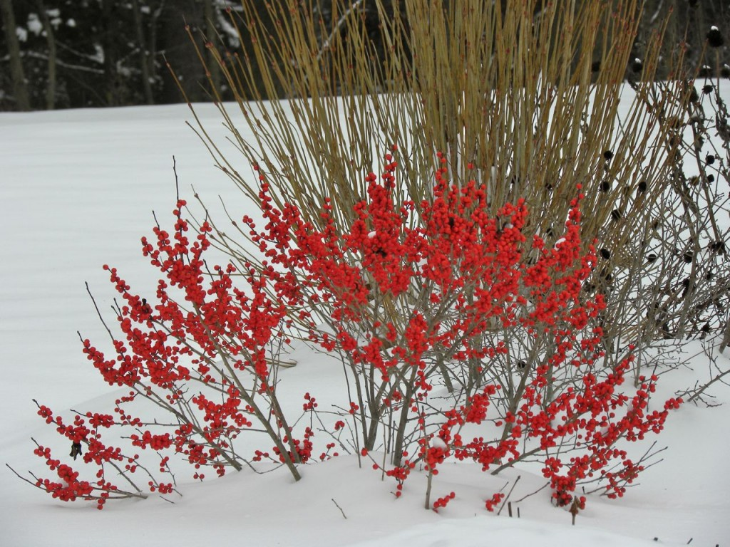 Winterberry in Lancaster County PA