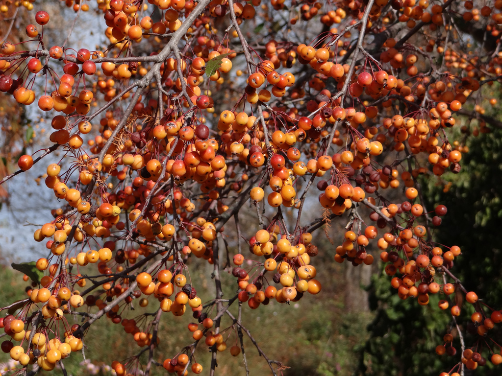 'Indian Magic' Crabapple