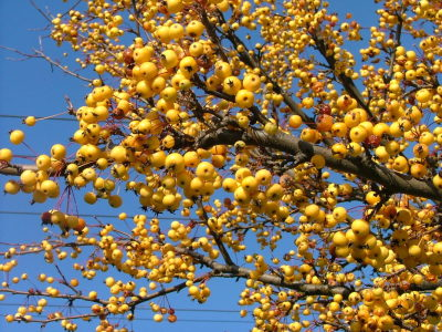 'Harvest Gold' Crabapple