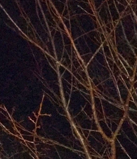 Cherry tree out my window at four thirty pm.