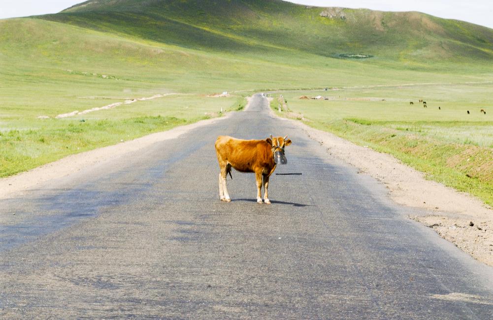 Cow , Mongolia, 2004.