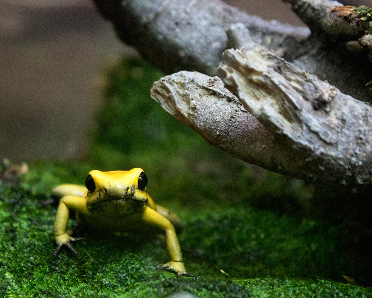 Ferocious Frog