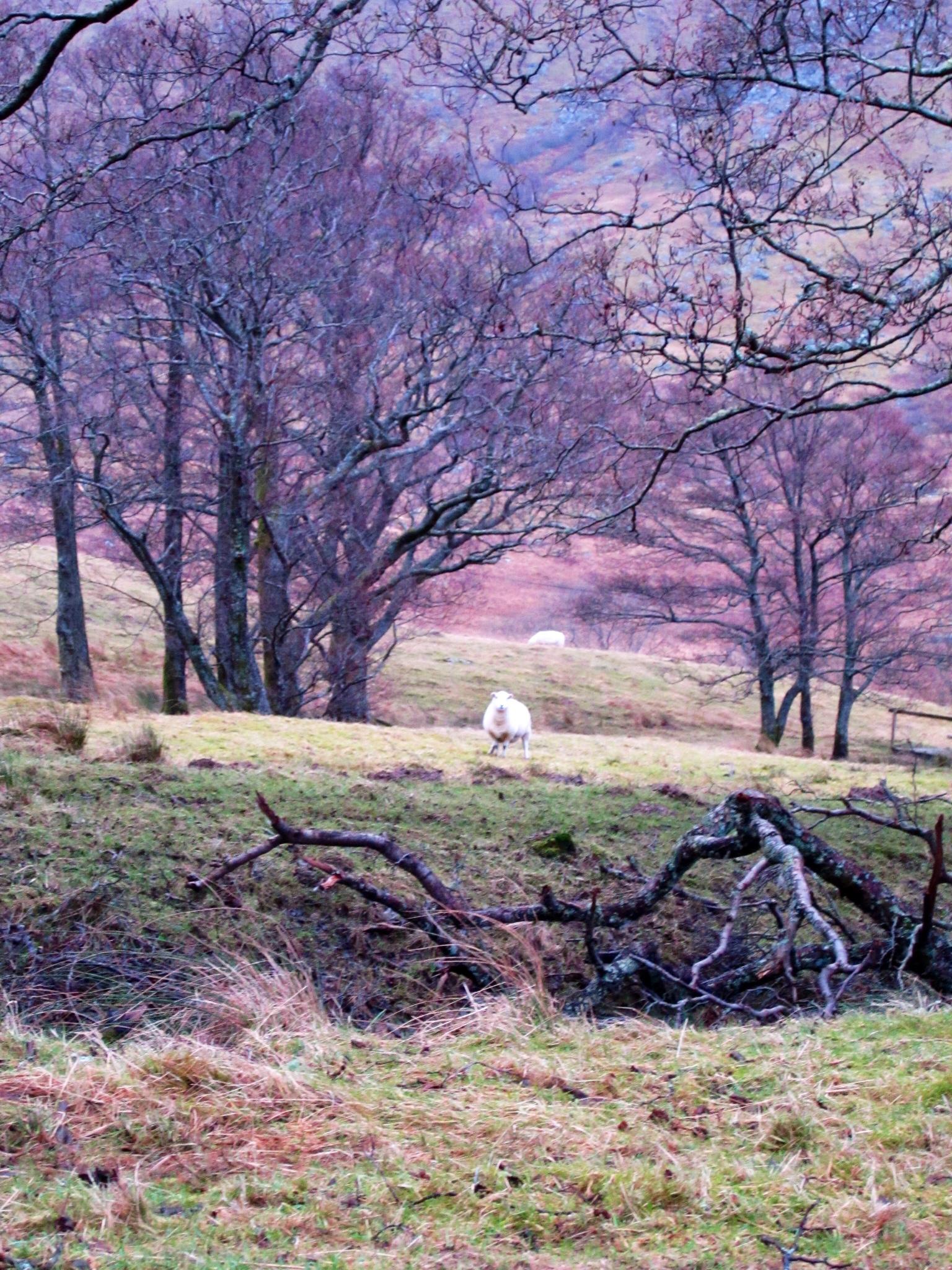 Grazing Sheep, Ft William, Scotland