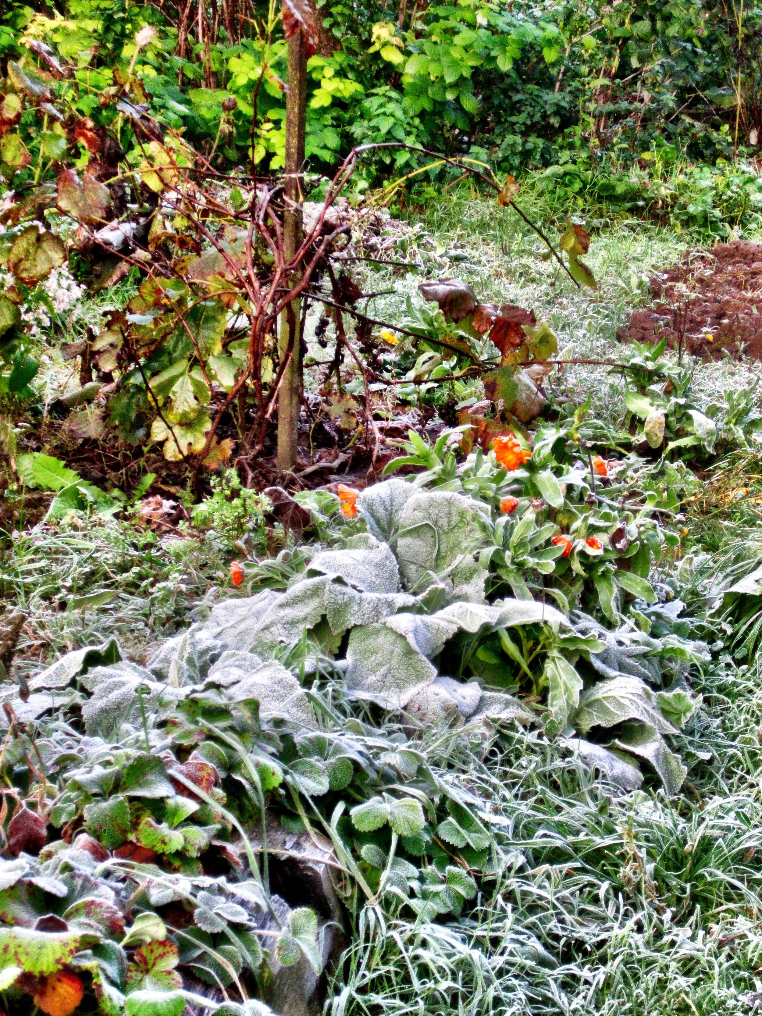 Frost in the vegetable garden one morning