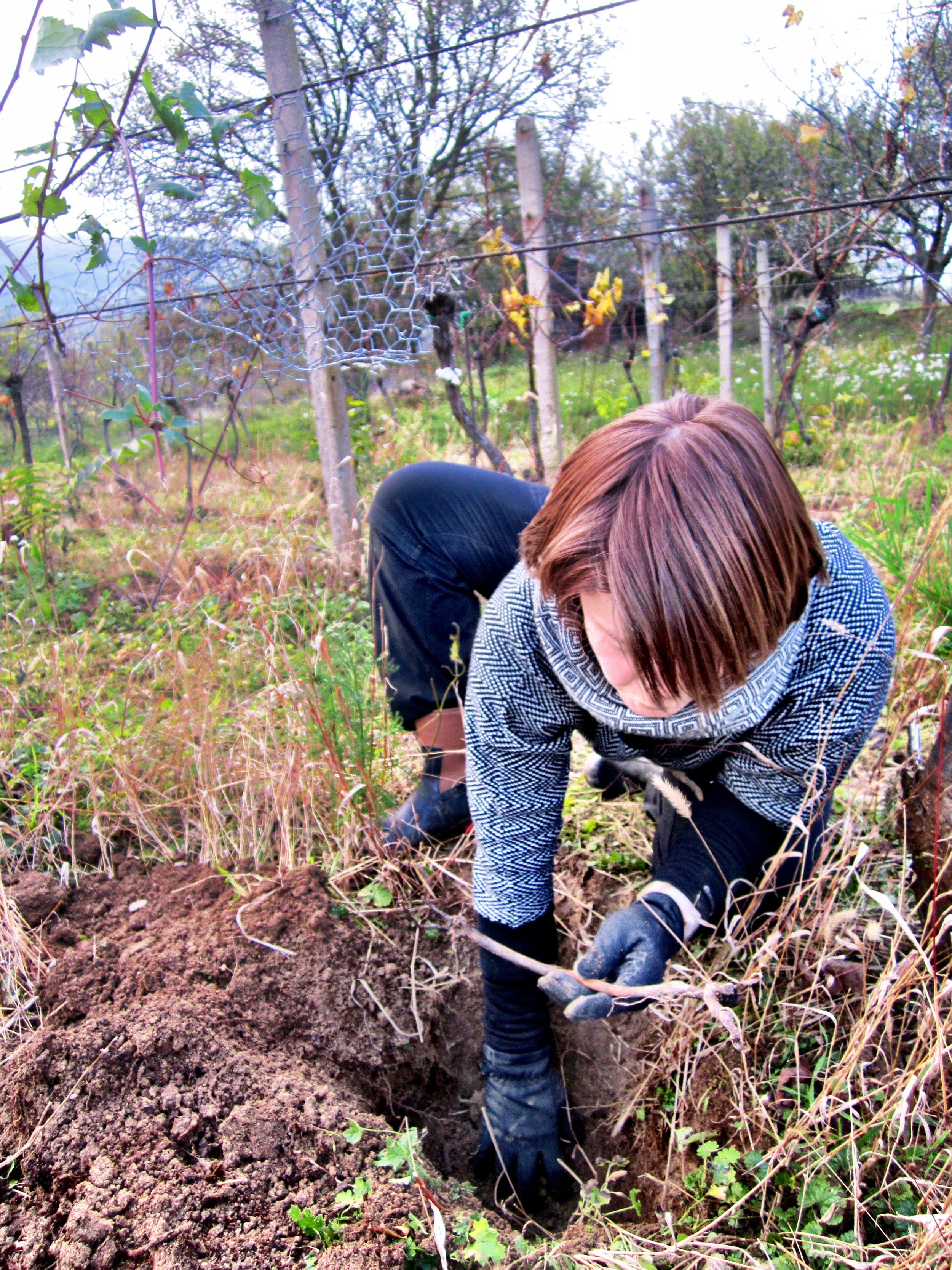 Transplanting vines - here's hoping we have the magic touch and they grow plump grapes for future harvest.