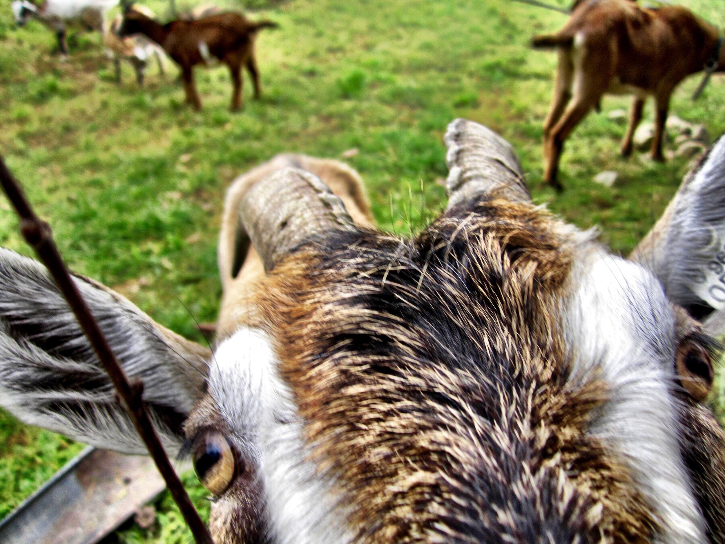 Gratuitous goat shot