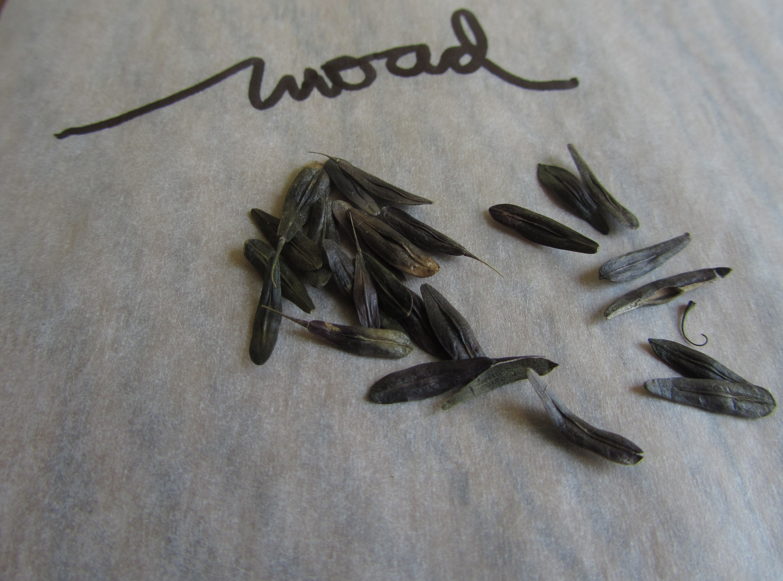It's a bit difficult to discern from the photo, but the woad seeds have a subtle blue tone and they are shaped just like a woad leaf!